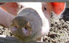 フロリダ 豚 拘束禁止
