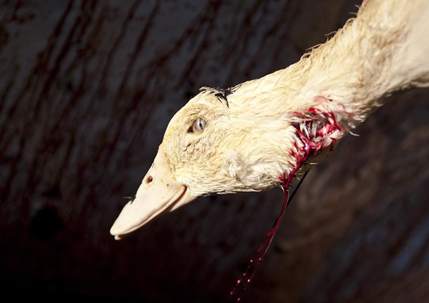 フォアグラにされる水鳥 屠殺