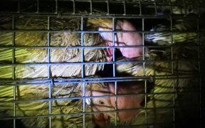 採卵鶏(廃鶏)の夜間放置
