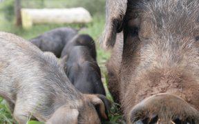 放牧 養豚