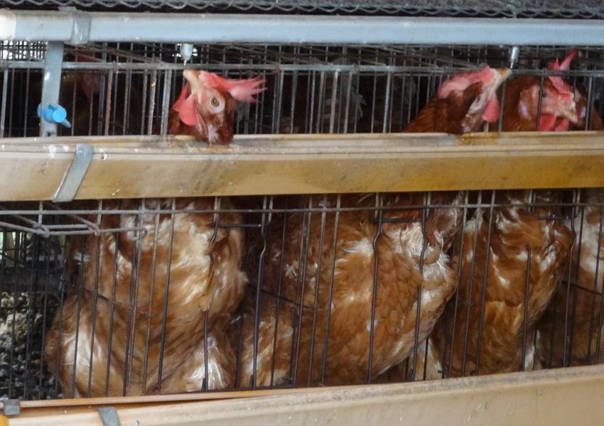 拘束状態で首を伸ばして水を飲むバタリーケージ飼育される鶏 日本