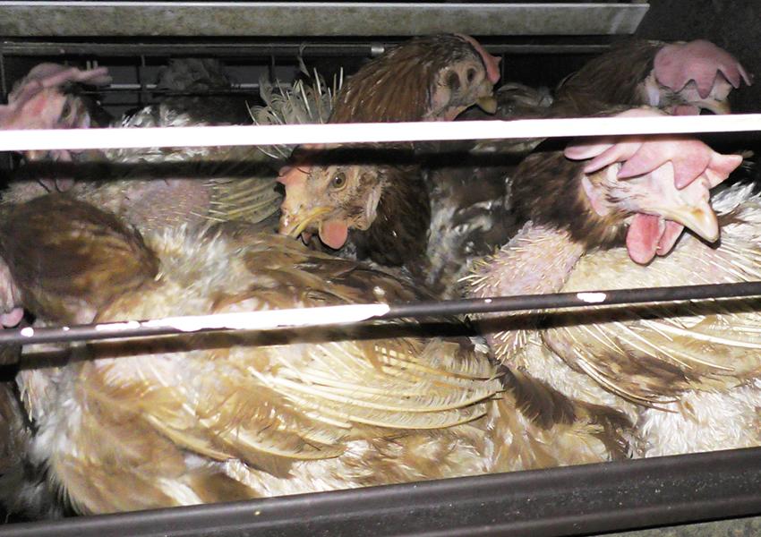 非常に過密な状態の日本の採卵鶏の飼育