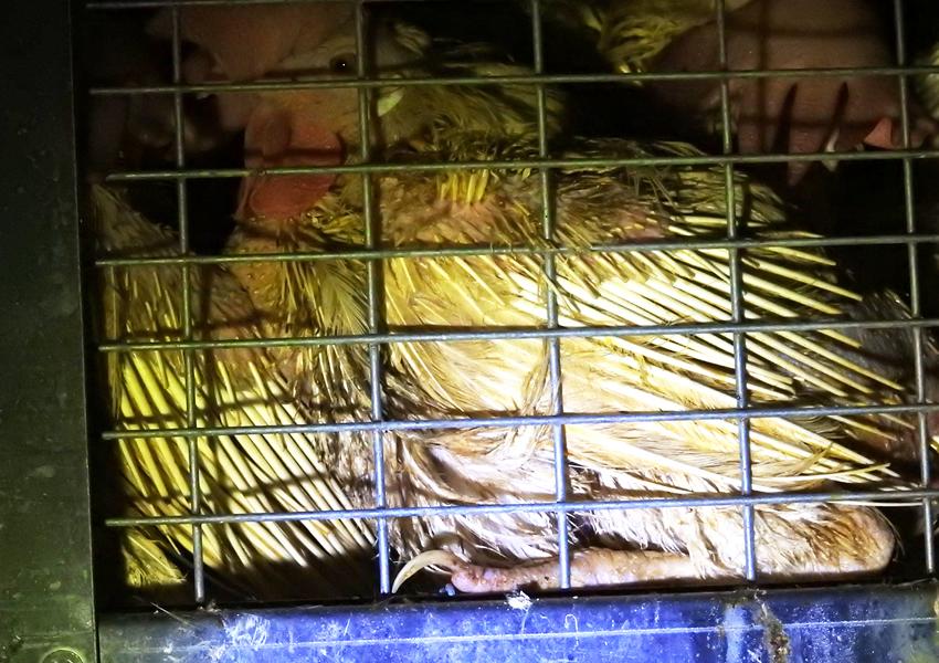 採卵鶏 屠殺場での夜間放置