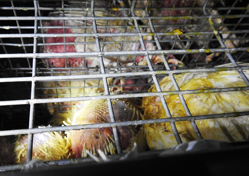 Last day of Egg Hens at Slaughterhouse – Abandoned for long hours