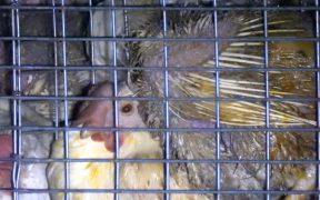 夜間放置 成鶏 食鳥処理場 卵