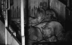 豚の屠殺場 夜間放置