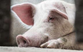 豚肉にされる豚