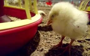 肉用鶏 ブロイラー 発達障害