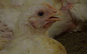 鶏 アニマルライツセンター