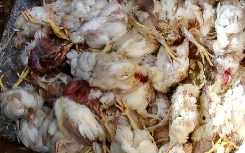 鶏肉用の鶏