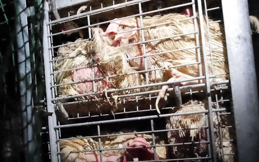 採卵鶏 補助金 動物虐待